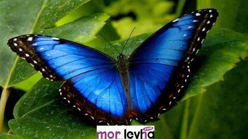 Kelebek falı nasıl bakılır